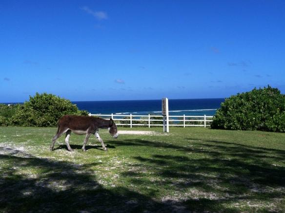 Wild Donkey on Grand Turk